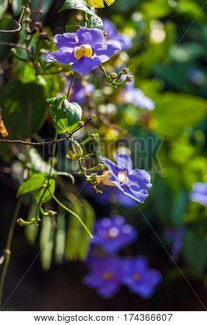 Blue Liana In Rain Forest, Cuba