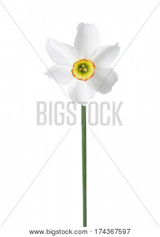 White narcissus (Narcissus poeticus) isolated on white.