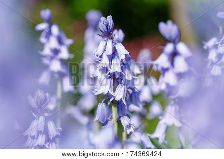 Bluebell flowers closeup in a blue bell garden