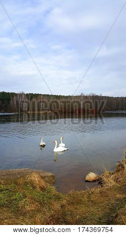 Three white swans on a smooth surface of the forest lake
