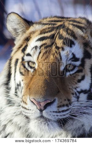 Portrait of an adult male of the Amur tiger close up