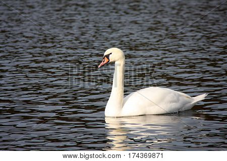 White whooper swan on the lake in the spring sunny day