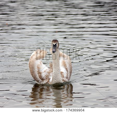 Graceful white swan on a lake surface of the water