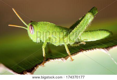 a smal green grasshopper, heupferd, animal, nature
