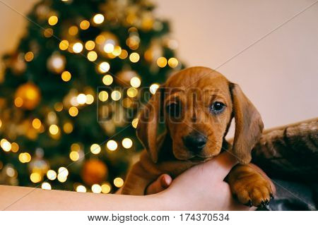 8 weeks old smooth hair brown dachshund puppy in the hands of its female owner, blurred lights on the background.