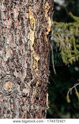 deyail of pine resin in a meadow in la spezia