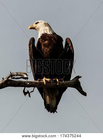 Bald Eagle (Haliaeetus leucocephalus) perched atop a dead tree in Alaska surveys its domain.