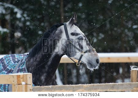 Portrait of thoroughbred horse grey spotted  in the snow. Walking race horses during the cold season in the blankets. Trotter apple coat is winter in the outer paddock.