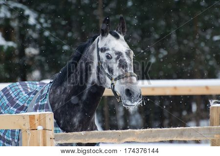 Portrait of a thoroughbred horse grey spotted under the snow. Walking race horses during the cold season in the blankets. Trotter apple coat is winter in the outer paddock.