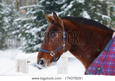 Portrait of a thoroughbred Bay horse in bridle and a blanket in the snow. Walking race horses during the cold season. Trotter brown color is winter in the outer paddock.