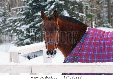 Portrait of thoroughbred sorrel horse in bridle and blanket in the snow. Walking race horses during the cold season. Trotter brown color is winter in the outer paddock.