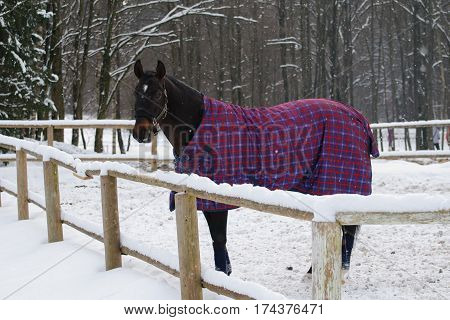 Horse in bridle and blanket standing under snowfall. Walking race horses during the cold season. Trotter brown color is winter in the outer paddock.