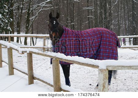 Thoroughbred horse in bridle and blanket standing under snowfall. Walking race horses during the cold season. Trotter brown color is winter in the outer paddock.
