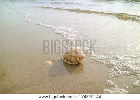 One Scotch Bonnet Seashell with wave bubbles on the golden sand beach of Thailand