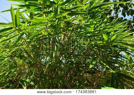 Bamboo tree are evergreen perennial flowering plants in the subfamily Bambusoideae of the grass family Poaceae