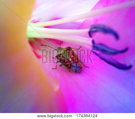 Dolycoris baccarum on the beautyfull purple flower