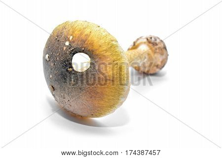 amanita phalloides the lethal death-cap isolated on white background