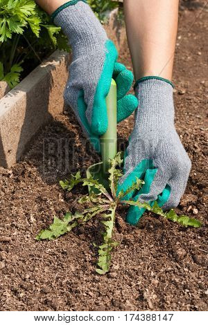 Female Hands Pull Out Weeds From Ground Garden Tool On Vegetable Garden. Weeding Weeds. Struggle Weeds Close Up.