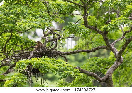 Young tiger heron in treetop nest Costa Rica