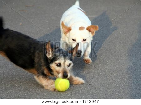Two terrier dogs chasing / playing with a tennis ball poster