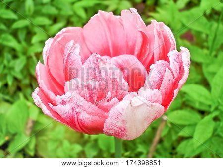 One white and pink melange double tulip