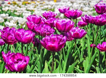 Terry purple and white double tulips. Background