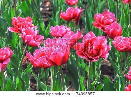 Background of crimson magenta terry double tulips