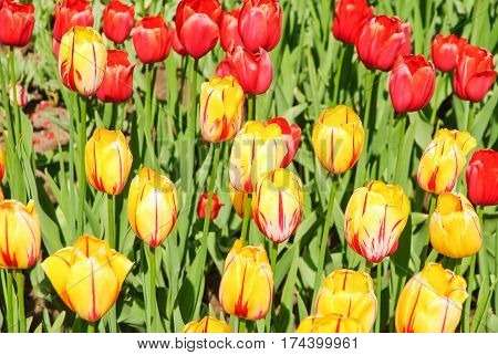 Beautiful yellow with red stripes tulips (Tulipa). The Sort Of