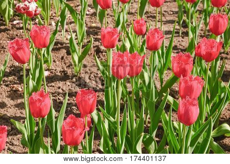 Bright red fringed Tulips (Tulipa). Sort Of