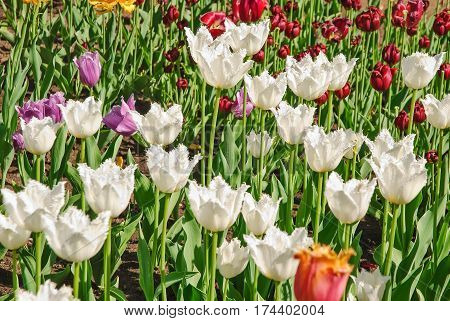 Varietal breeding white fringed tulips Daytona (Tulipa) and other varieties
