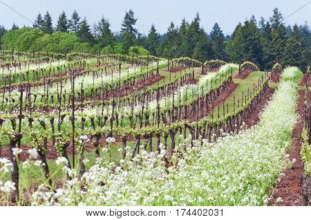 Grape vineyard of Pinot Noir grapes in Oregon State with summer white blossoms between rows