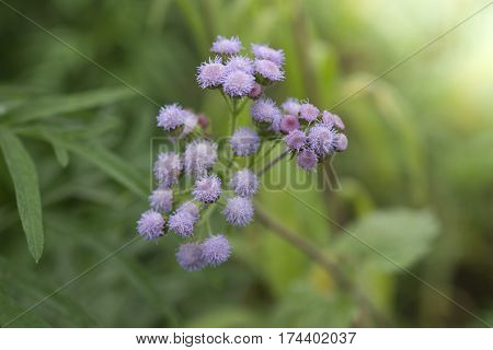 green wild herbal grass flowers (Vernonia cinerea Less. Little ironweed) with blur background