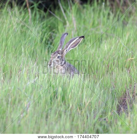 Black-tailed Jackrabbit (Lepus californicus) hiding in tall grass.