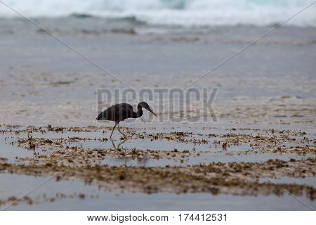 The black Heron on the sea or ocean to hunt during low tide into the waves