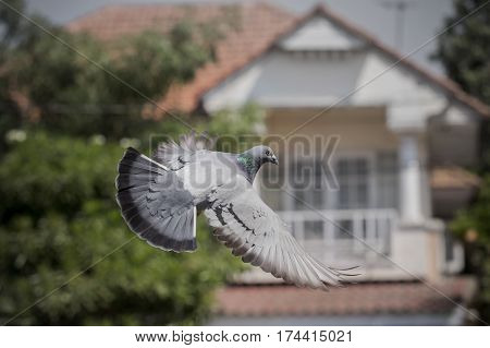 pigeon bird flying mid air for freedom media and press symbol