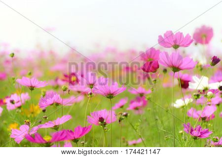 Cosmos field in soft light tone with clear sky.