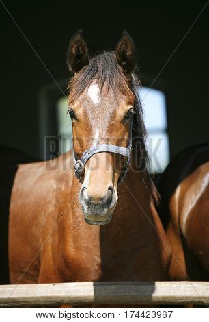 Portrait of a thoroughbred stallion in the barn door