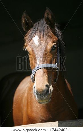 Portrait of a young stallion at animal farm. Horse looking over the stable fence