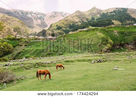Two Red Brown Horses Grazing On Green Mountain Slope In Spring In Mountains Of Georgia Near Gergeti Trinity Church Or Tsminda Sameba - Holy Trinity Church On Background