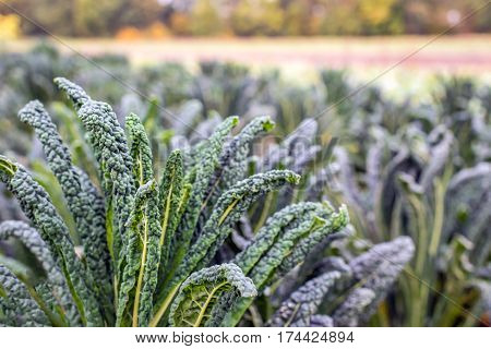 Closeup of Lacinato kale or Brassica oleracea var. palmifolia in the field of a specialized organic vegetable nursery in the Netherlands.
