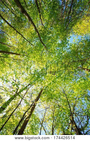 Spring Summer Sun Shining Through Canopy Of Tall Maple Trees.
