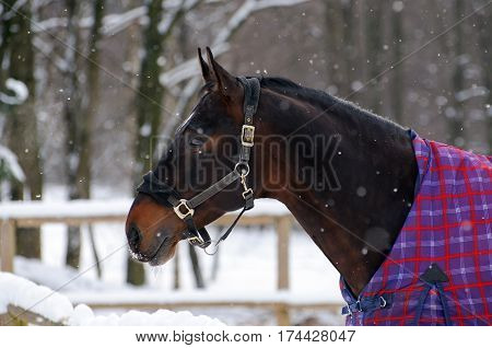 Thoroughbred sorrel horse in bridle and blanket is under the snow. Walking race horses during the cold season. Trotter brown color is winter in the outer paddock.