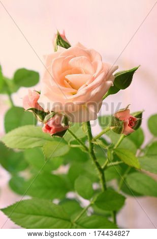 Close up of beautiful delicate pink rose