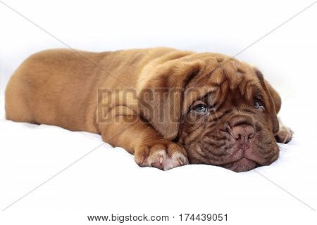 Dogue De Bordeaux - Little Puppy