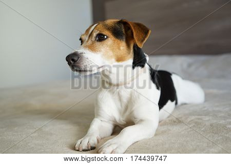 Portrait of jack russell terrier dog on the beige background. Cute jack russell terrier lying on the beige blanket
