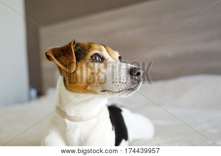 Portrait of jack russell terrier on the beige blanket in the badroom dog with interest looking upwards