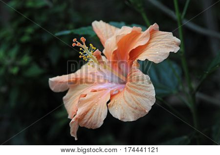 Large pink nd orange hibiscus flower close-up. Flower formation is seen well.