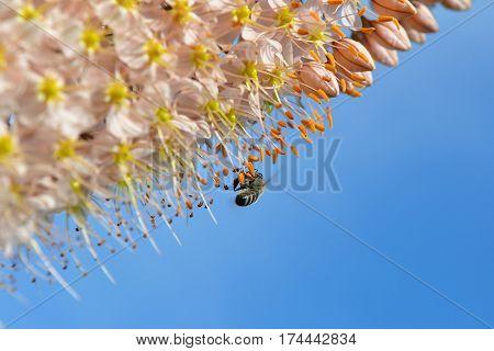 eremurus robustus and bee against blue sky