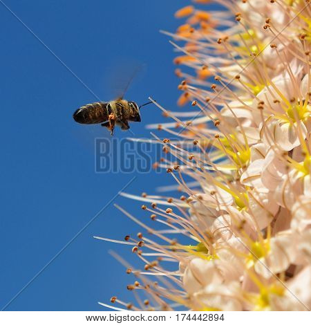 eremurus robustus and bee in flight against blue sky