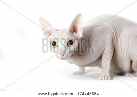 Naked Sphinx cat isolated on white background